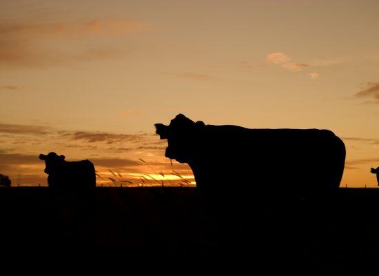 cattle-640985_fotor